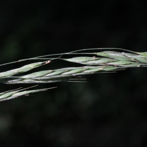 Bromopsis ramosa (Huds.) Holub (Brome ramifié)