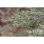 Artemisia herba-alba Asso (Armoise Herbe blanche)