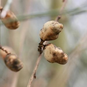 Genista sphaerocarpa (L.) Lam.