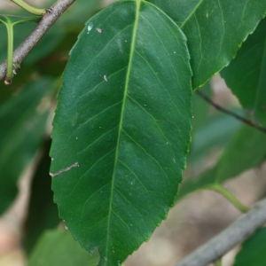 Photographie n°193132 du taxon Prunus lusitanica L. [1753]