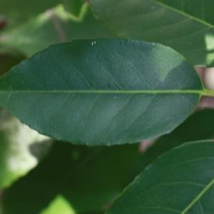 Photographie n°193137 du taxon Prunus lusitanica L. [1753]
