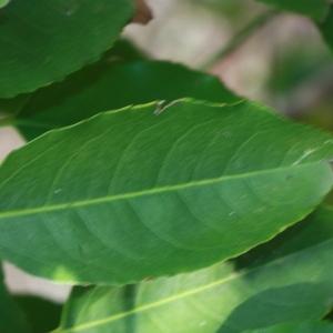 Photographie n°193138 du taxon Prunus lusitanica L. [1753]