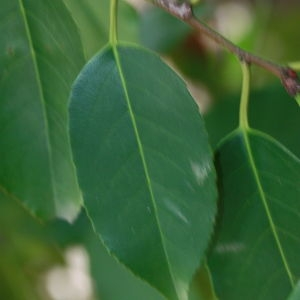 Photographie n°193141 du taxon Prunus lusitanica L. [1753]