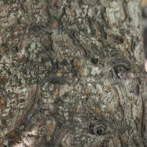 Photographie n°193152 du taxon Prunus lusitanica L. [1753]