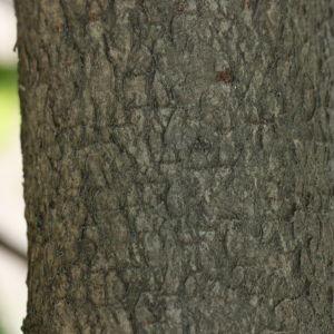 Photographie n°193154 du taxon Prunus lusitanica L. [1753]