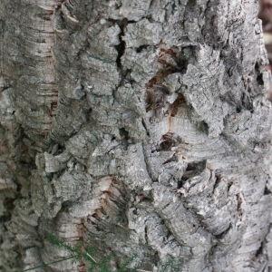 Photographie n°193157 du taxon Quercus suber L. [1753]
