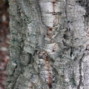 - Quercus suber L. [1753]