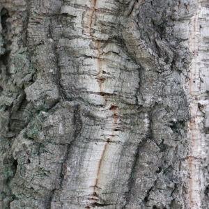 Photographie n°193159 du taxon Quercus suber L. [1753]