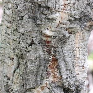 Photographie n°193160 du taxon Quercus suber L. [1753]