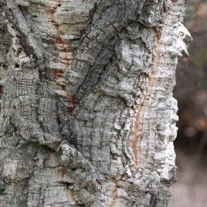 Photographie n°193161 du taxon Quercus suber L. [1753]