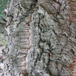 Photographie n°193162 du taxon Quercus suber L. [1753]