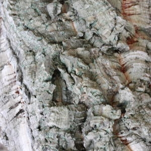 Photographie n°193163 du taxon Quercus suber L. [1753]
