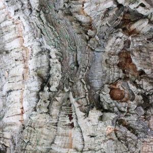 Photographie n°193164 du taxon Quercus suber L. [1753]
