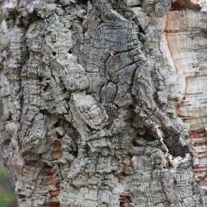 Photographie n°193166 du taxon Quercus suber L. [1753]