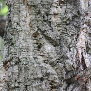 Photographie n°193167 du taxon Quercus suber L. [1753]
