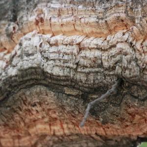 Photographie n°193168 du taxon Quercus suber L. [1753]