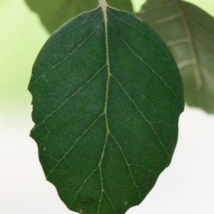 Photographie n°193169 du taxon Quercus suber L. [1753]