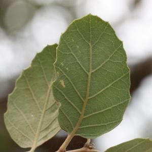 Photographie n°193170 du taxon Quercus suber L. [1753]