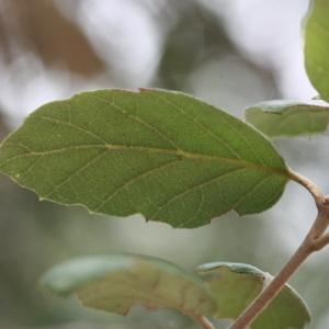 Photographie n°193171 du taxon Quercus suber L. [1753]