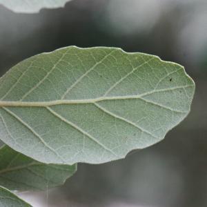 Photographie n°193172 du taxon Quercus suber L. [1753]