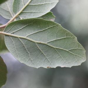 Photographie n°193173 du taxon Quercus suber L. [1753]
