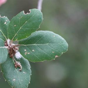 Photographie n°193175 du taxon Quercus suber L. [1753]