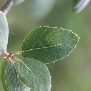 Photographie n°193178 du taxon Quercus suber L. [1753]