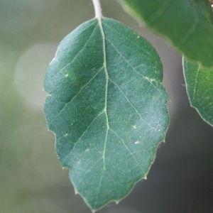 Photographie n°193179 du taxon Quercus suber L. [1753]