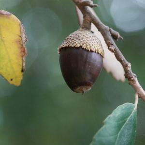 Photographie n°193180 du taxon Quercus suber L. [1753]