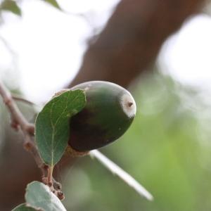 Photographie n°193183 du taxon Quercus suber L. [1753]
