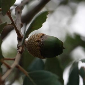 Photographie n°193184 du taxon Quercus suber L. [1753]