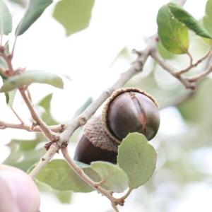 Photographie n°193185 du taxon Quercus suber L. [1753]