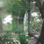 Hervé GOËAU - Pinus nigra subsp. salzmannii (Dunal) Franco
