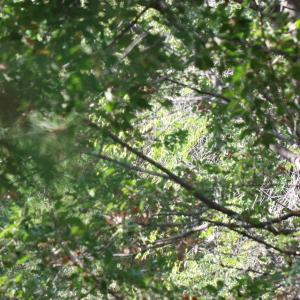 Photographie n°193250 du taxon Pinus nigra subsp. salzmannii (Dunal) Franco