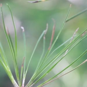 Photographie n°193253 du taxon Pinus nigra subsp. salzmannii (Dunal) Franco