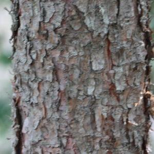 Photographie n°193255 du taxon Pinus nigra subsp. salzmannii (Dunal) Franco