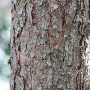 Photographie n°193256 du taxon Pinus nigra subsp. salzmannii (Dunal) Franco