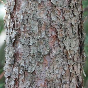 Photographie n°193258 du taxon Pinus nigra subsp. salzmannii (Dunal) Franco
