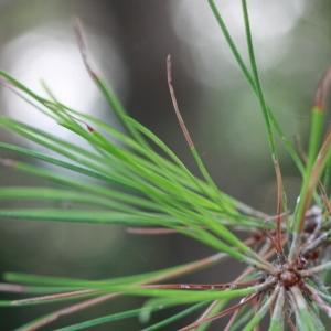 - Pinus nigra subsp. salzmannii (Dunal) Franco