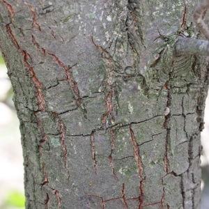 Photographie n°193338 du taxon Quercus L. [1753]
