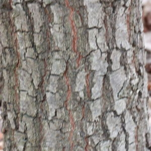 Photographie n°193340 du taxon Quercus L. [1753]