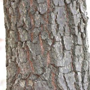 Photographie n°193341 du taxon Quercus L. [1753]