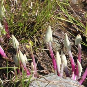 Photographie n°193364 du taxon Cacalia leucophylla Willd. [1803]