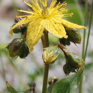 Hypericum richeri Vill. (Millepertuis de Richer)