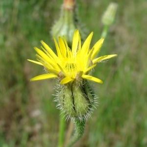 - Urospermum picroides (L.) Scop. ex F.W.Schmidt [1795]