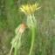 Paul Fabre - Urospermum picroides (L.) Scop. ex F.W.Schmidt [1795]