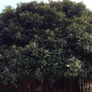 Photographie n°193506 du taxon Ficus L. [1753]