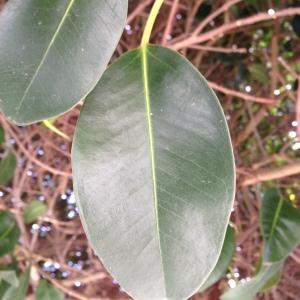 - Ficus L. [1753]