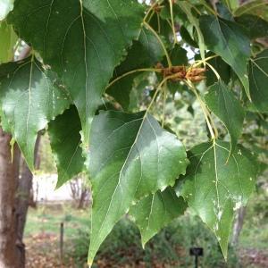 Populus x canadensis Moench (Peuplier du Canada)