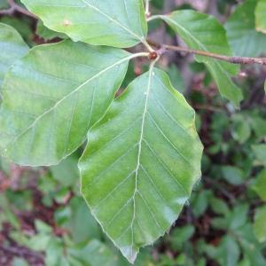 Photographie n°193840 du taxon Fagus sylvatica L.